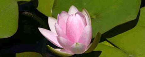 lotusnonkew-new